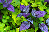 Purple and green leaves in a Big Island botanical garden.