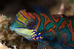 Mandarinfish (Synchiropus splendidus). North Raja Ampat, West Papua, Indonesia