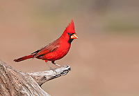 Cardinal wating above water hole.
