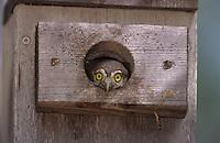Ferruginous Pygmy-Owl, Glaucidium brasilianum, young in nest box, Willacy County, Rio Grande Valley, Texas, USA