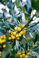 Ilex aquifolium 'Bacciflava'