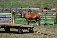 Palomino draft horse standing in a corral.