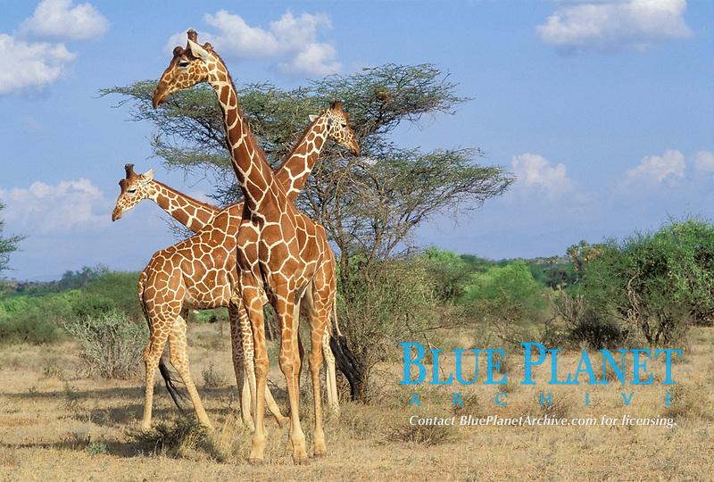 Three Reticulated Giraffes Giraffa camelopardalis Samburu National Reserve Kenya