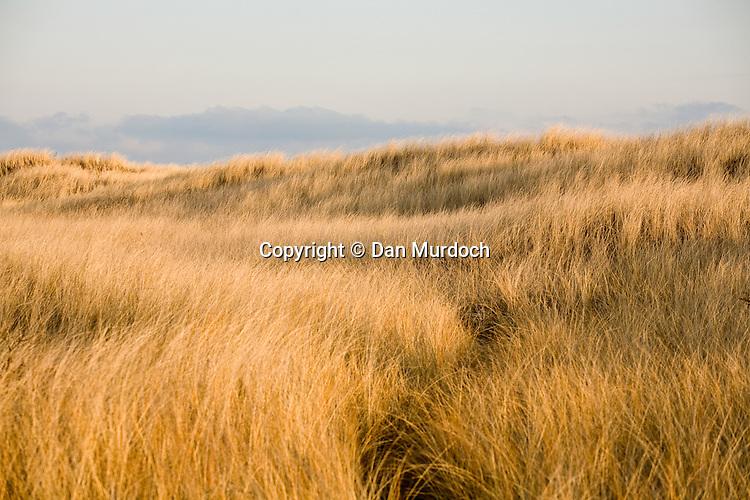 Cordgrass (spartina) covers sand dunes.