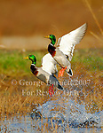 Waterfowl Pictures