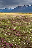 Spring wildflowers blossom (lapland rosebay, mountain avens) on the tundra in the Brooks Range, trans Alaska oil pipeline in the distance, Arctic Alaska.