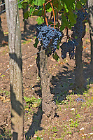 A Cabernet Franc bunch of grapes on a vine in the vineyard at Chateau Cheval Blanc, Saint Emilion, Bordeaux