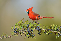 Northern Cardinal (Cardinalis cardinalis), male eating Elbow bush (Forestiera pubescens) berries, Rio Grande Valley, South Texas, Texas, USA