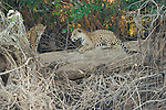 A jaguar mating pair sit on a log at the fork of the Cuiaba and Picuiri Rivers in the Pantanal of Brazil.