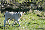 Brazoria County, Damon, Texas; a white, newborn calf, with it's umbilical cord still partially attached, walking across the pasture in early morning sunlight