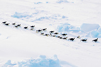 emperor penguins, Aptenodytes forsteri, toboganning, Cape Washington, Antarctica