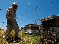 A swarm storms out of a hive at an apiary. The powerless beekeeper can do nothing but watch the departure of half the bees from his hive.<br /> Un essaim sort en trombe d'une ruche sur un rucher. L'apiculteur impuissant ne peut qu'assister au départ de la moitié des abeilles de sa ruche.