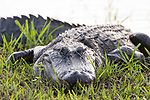 Damon, Texas; a close up look at a large, adult American alligator warming itself on the bank of the slough in late afternoon light