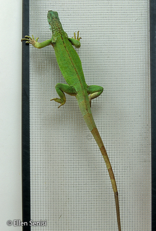 Schenectady, NY.One-year-old female pet reptile (disabled from mite damage, common petstore problem) compensates with arm strength while climbing screen. (Green Iguana-Iguana Iguana).PN#: 30206                     FC#: 10616-00615.scan from slide.© Ellen B. Senisi