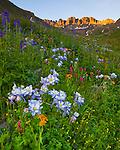 San Juan Mountains, CO<br /> American Basin featuring Colorado columbine (Aquilegia coerulea), sneezeweed (Dugaldia hoopesii) and larkspur (Delphinium barbeyi)  in alpine wildflower meadows beneath Handies Peak at sunrise