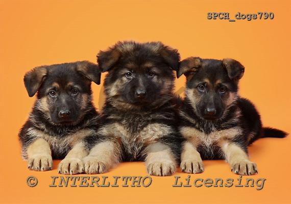 Xavier, ANIMALS, dogs, photos, SPCHdogs790,#A# Hunde, perros