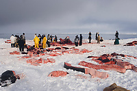 bowhead whale, Balaena mysticetus, being butchered by Inupiat whalers on the edge of a lead, frozen Chukchi Sea, off Point Barrow, Arctic Alaska
