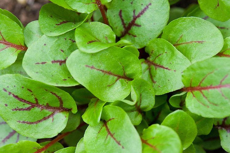 Red-veined sorrel (Rumex sanguineus var. sanguineus), also known as bloody sorrel or red-veined dock.