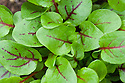 Red-veined sorrel (Rumex sanguineus var. sanguineus), also known as bloody sorrel or red-veined dock.