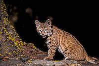 Bobcat kitten (Lynx rufus).  Western U.S.