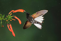 Velvet-Purple Coronet (Boissonneaua jardini), adult feeding on flower, Mindo, Ecuador, Andes, South America