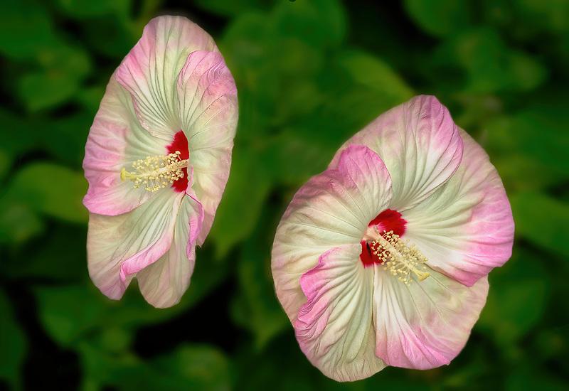 Luna Hybiscus. Hughes Water Garden, Oregon