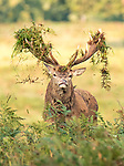 Pictured: The stag with his impressive hairdo<br /> <br /> This stag holds his antlers high as he proudly displays an outlandish new look.   During the annual rutting period male deer put on elaborate displays of dominance and spend time scraping their antlers through undergrowth, sometimes collecting bracken and ferns.<br /> <br /> Red deer stags often lock horns with competitors and roar as they bid to become the dominant stag, ensuring exclusive mating with the hinds.   The photographs were taken at Woburn Estate Deer Park, in Bedfordshire, by David Gowing.   SEE OUR COPY FOR DETAILS<br /> <br /> Please byline: David Gowing/Solent News<br /> <br /> © David Gowing/Solent News & Photo Agency<br /> UK +44 (0) 2380 458800