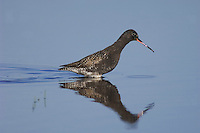 Spotted Redshank, Tringa erythropus,adult, National Park Lake Neusiedl, Burgenland, Austria, April 2007
