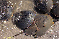 1Y47-252x  Horseshoe Crab - male holding female, mating on beach at high spring tide -  Limulus polyphemus
