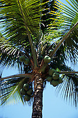 Brazil.  Coconut growing on a palm tree.