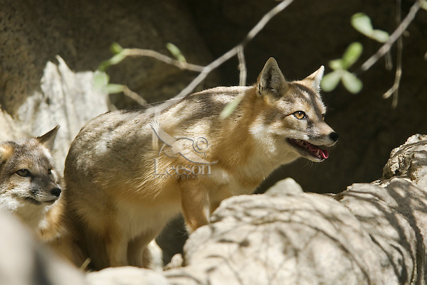 Swift Fox (Vulpes velox) found mostly on the Northern Great Plains.