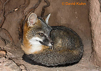 1118-0802  Gray Fox in Desert Underground Resting in Den, Urocyon cinereoargenteus © David Kuhn/Dwight Kuhn Photography