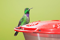 Male purple-bibbed white-tip, Urosticte benjamini, perched on a feeder at San Jorge Eco-Lodge, Tandayapa Valley, Ecuador