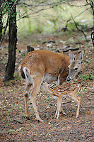 White-tailed Deer (Odocoileus virginianus), fawn nursing, New Braunfels, San Antonio, Hill Country, Central Texas, USA