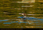 Common Loon at Sunset, Molting from Breeding to Non-Breeding Plumage, Great Northern Loon, Wolfeboro Bay, Wolfeboro NH