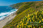 Yellow Tree Lupin, Tomales Point, Point Reyes National Seashore, Marin County, California