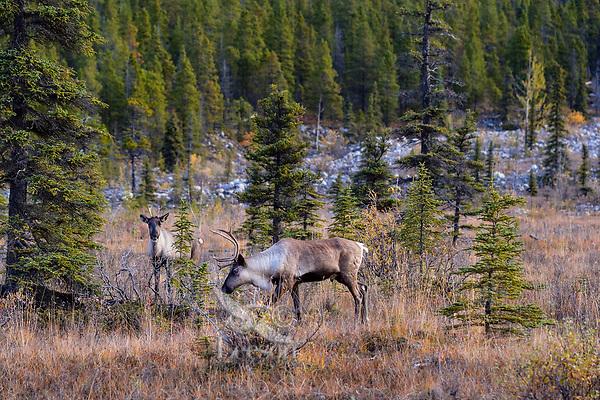 Woodland Caribou or forest-dwelling caribou (Rangifer tarandus caribou) bull and cow.  British Columbia.  Fall.