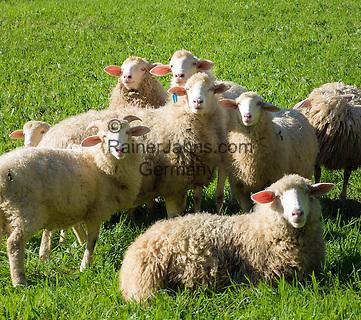 Austria, Upper Austria, Salzkammergut, Unterach am Attersee: flock of sheep   Oesterreich, Oberoesterreich, Salzkammergut, Unterach am Attersee: Schafherde