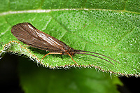 Köcherfliege, Silo nigricornis, Köcherfliegen, caddisfly, sedge-fly, rail-fly, caddisflies, sedge-flies, rail-flies, Trichoptera