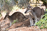 Undara Volcanic National Park, Queensland, Australia; two whiptail wallaby (Macropus parryi), one with a baby joey in it's pouch, crouch in the shade of a bush, hiding from the hot afternoon sun