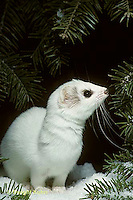 MA06-068x  Short-Tailed Weasel - exploring forest for prey in winter - Mustela erminea