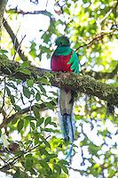 Resplendent Quetzal in Honduras