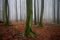 GERMANY, Ruegen, beech forest / Rügen, Nationalpark Jasmund, intakter Wald, Laubwald mit Buchen