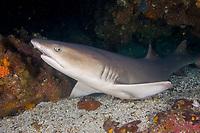 White Tip Reef shark, Triaenodon obesus, Pacific Ocean, Ecuador, Galapagos, A white tip reef shark resting in a reef overhang, Shark