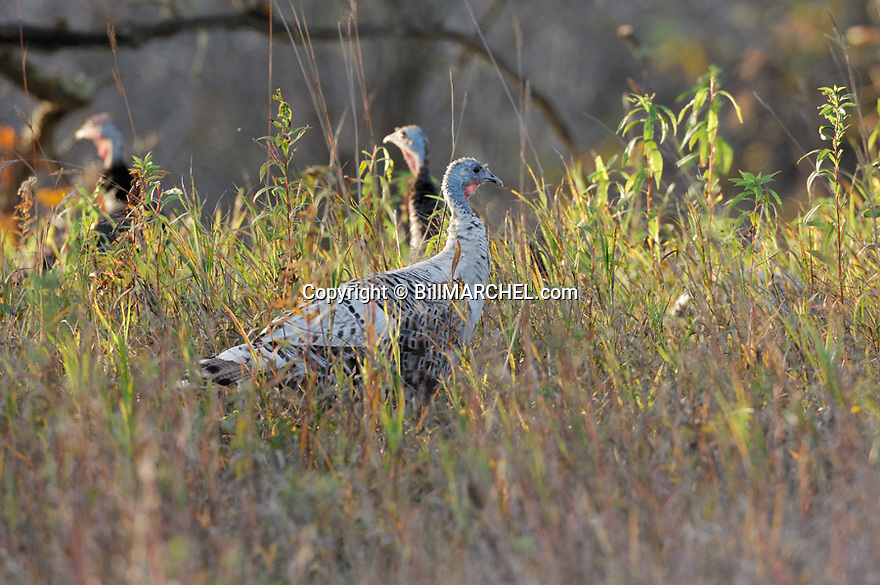 01225-089.04 Wild Turkey: A partially white eastern bird is with normal colored bird as they feed in meadow during fall.  H3E1
