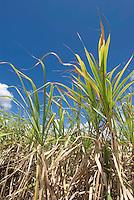 Cuba, Zuckerrohrernte bei Sancti Spiritus