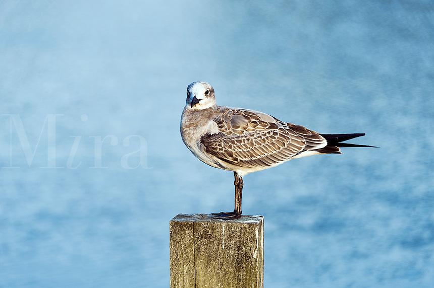 Shorebird perched on a dock post, Corolla, North Carolina, USA
