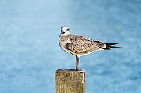 Shorebird perched on a dock post, Corolla, North Carolina, USA