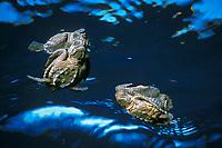 Kemp's ridley sea turtle hatchlings, Lepidochelys kempii (c-r) Critically Endangered Species, Rancho Nuevo, Mexico, Gulf of Mexico, Caribbean Sea, Atlantic Ocean