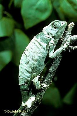 CH09-002z  African Chameleon - molting skin - Chameleo senegalensis